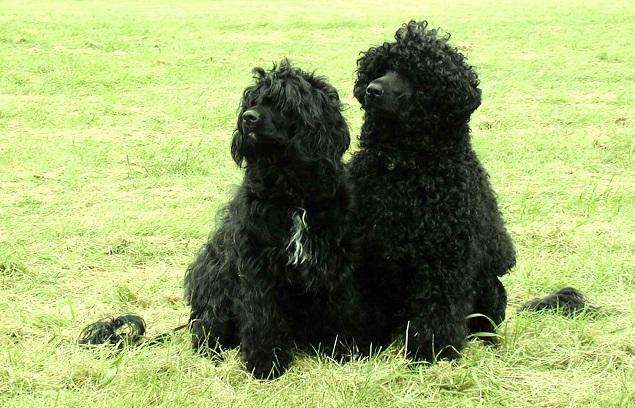 25 самых дорогостоящих пород собак в мире