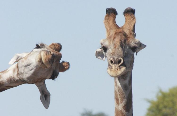 40 лучших новеньких комедийных фото из мира диких животных